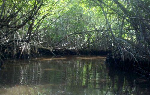 Mangrove Forest Primeval