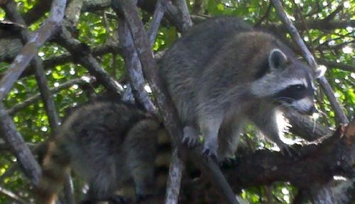 Family of racoons came down to the boat to see if they could cadge a snack