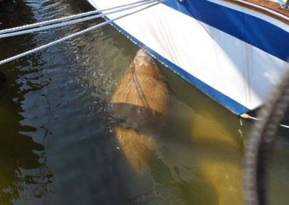 Manatee cadging drops of water from our neighbor's boat in Titusville.