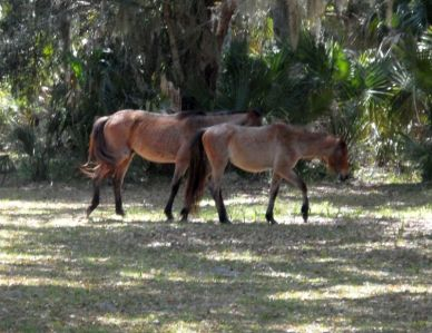 Wild horses descended from the Carnegie stable roam the island freely.