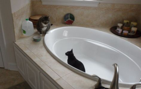 Rub a dub dub, two cats in a tub.
